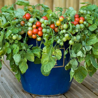 Vegetable tomatoe For Container Gardening