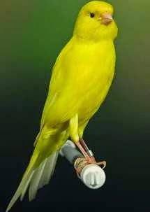 Foto Burung Kenari Terbaik
