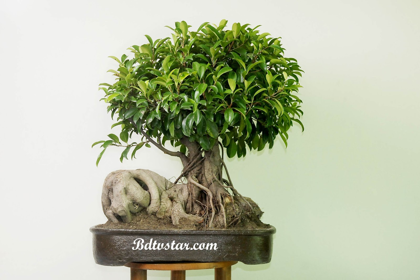 Bangladeshi Models And Girls Wallpaper Bonsai Tree Photos Taken