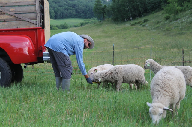 Grass-fed rotational grazing is the cornerstone of our farm