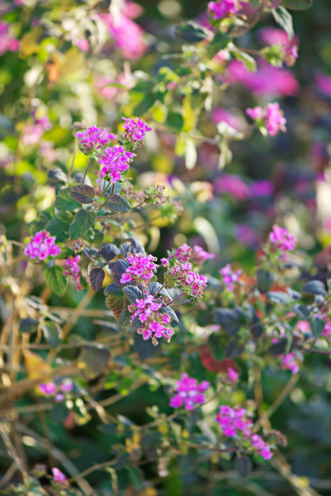 purple flowers - photo copyright Allison Beth Cooling