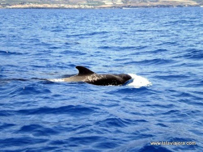 Excursion Delfines Calderones Los Gigantes, Tenerife