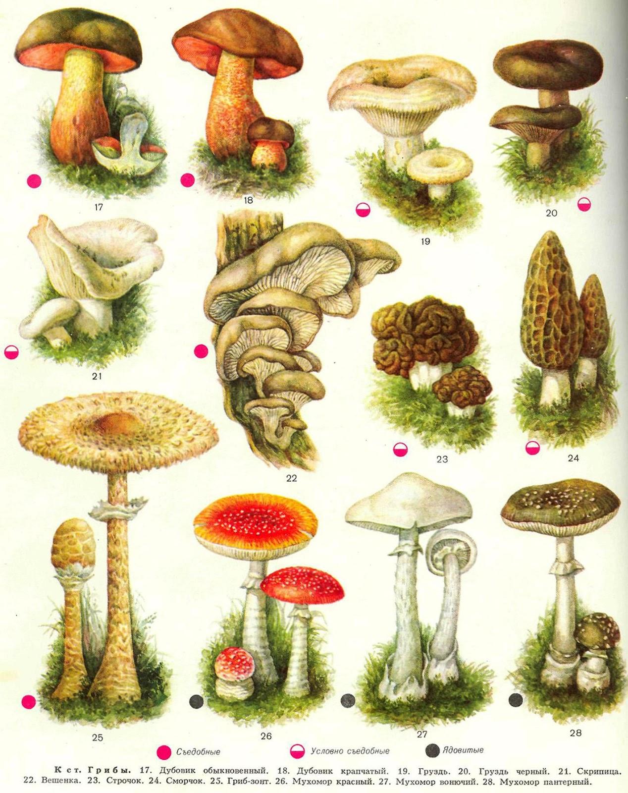 фото и названия всех грибов