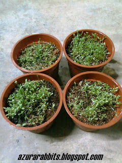 penanaman benih alfalfa