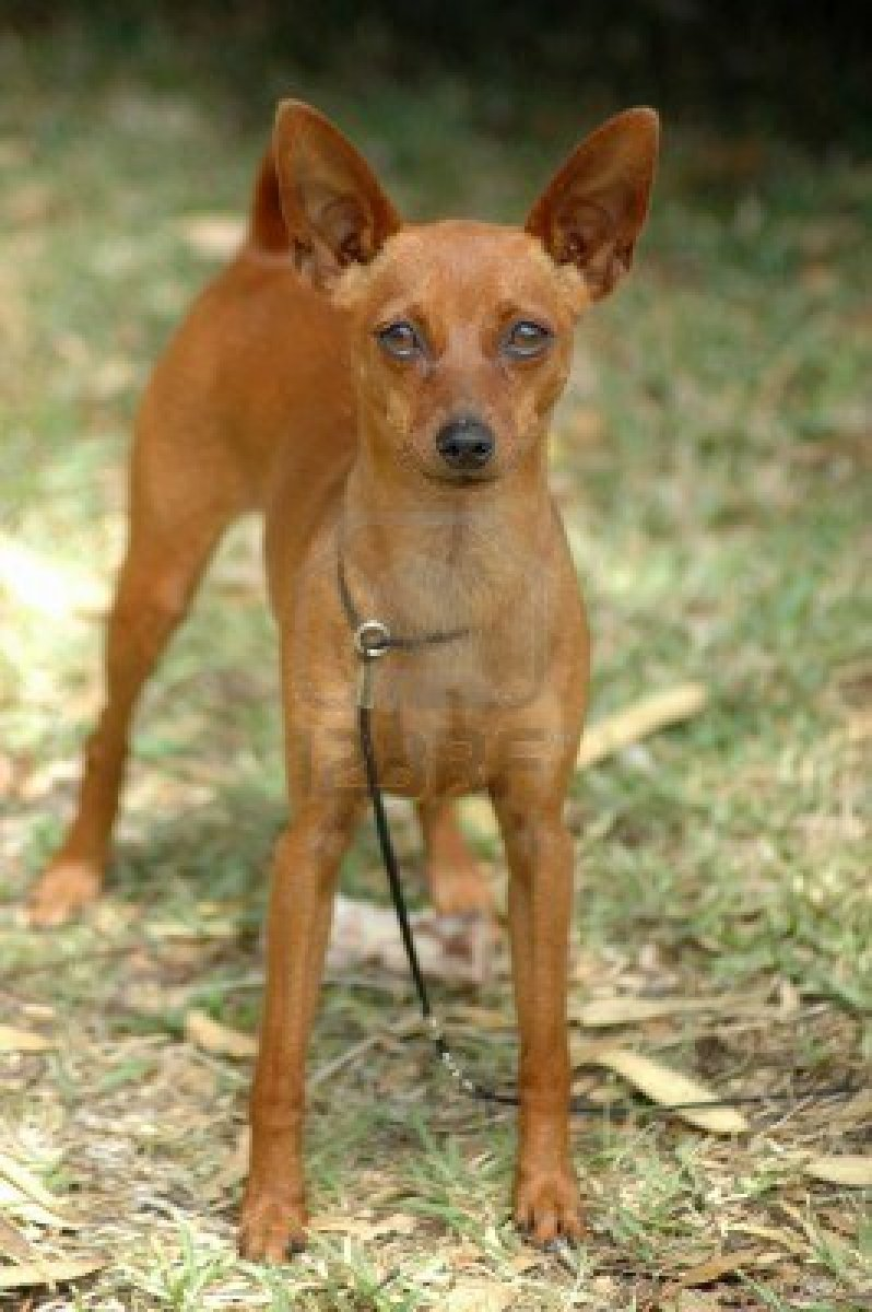 Cute Dogs: Miniature Pinscher Dog