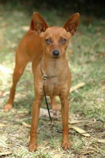 Cute Dogs Miniature Pinscher Dog