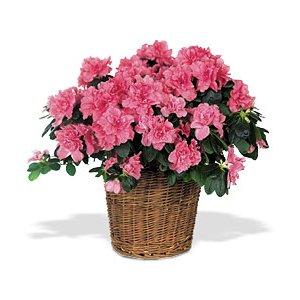 Send a Mothers Day Azalea Plant