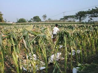 menanam mentimun dengan cara praktis dan murah