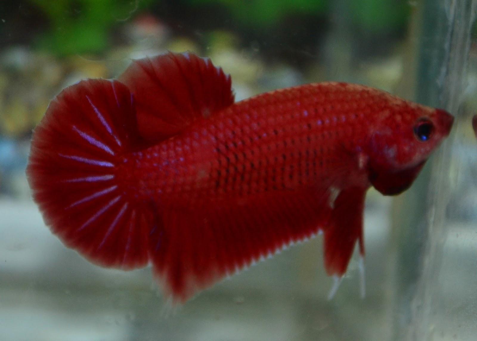 Betta fish afira betta nj cambodian red sold for Red betta fish