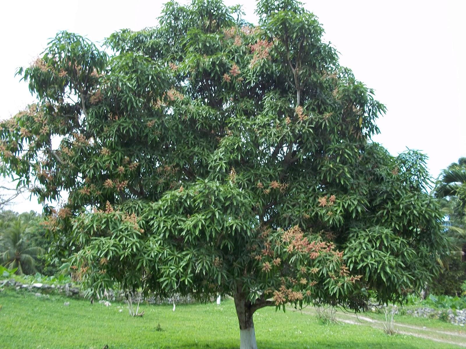 Trees Planet: Mangifera indica - Mango Tree