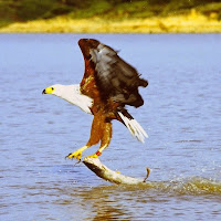 African fish eagle WALLPAPER HD