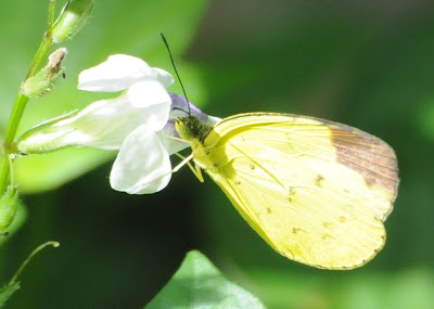 Chocolate Grass Yellow (Eurema sari sodalis)