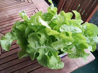 Cette belle salade est maintenant prête à être mangée, encore dans son saladier garnis d'eau fraiche pour la garder vive.