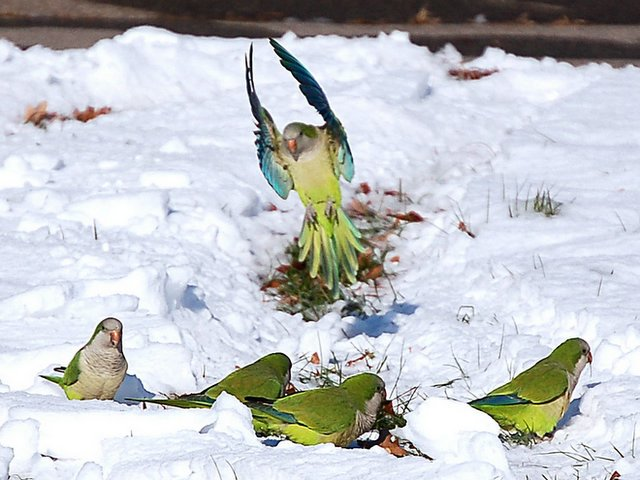 Quaker Parrots in the snow Quakers Birds