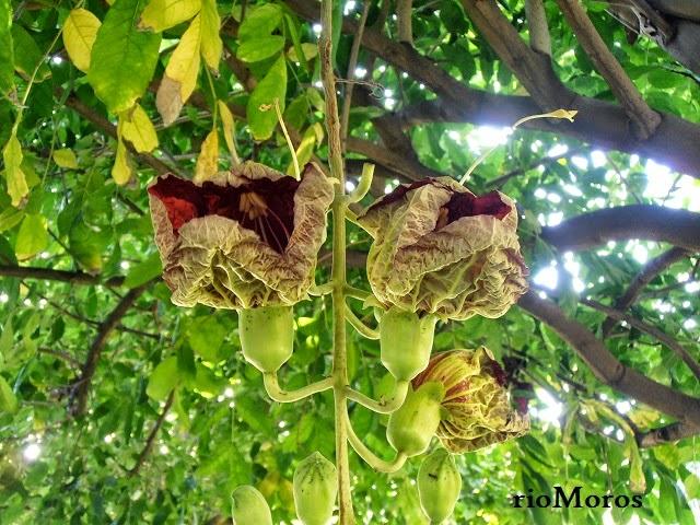Flores exóticas ÁRBOL DE LAS SALCHICHAS: Kigelia africana