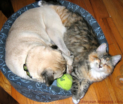 Pug and blind cat in a dog bed, sharing a tennis ball