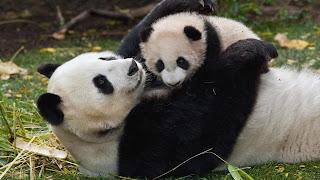 Osa panda abrazando a su cachorro