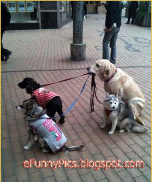 A Dog Keeps Other Dogs on a Leash