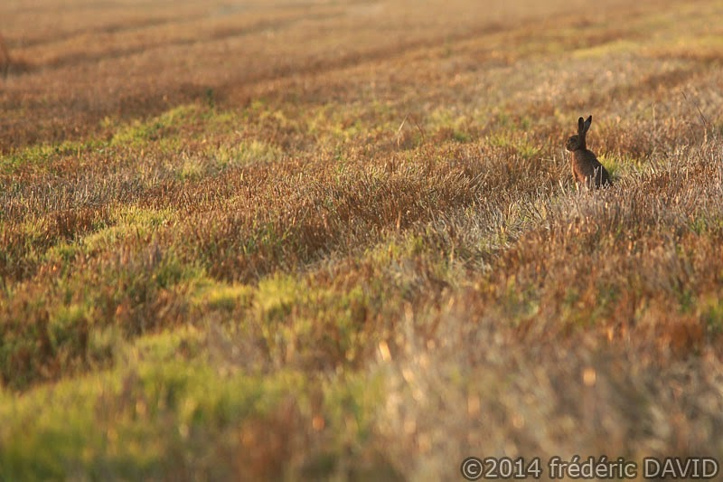 campagne champ nature animaux lièvre matin moisson Seine-et-Marne