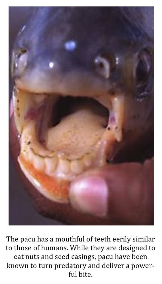 Texas cryptid hunter invasive red bellied pacu caught in for Pacu fish teeth