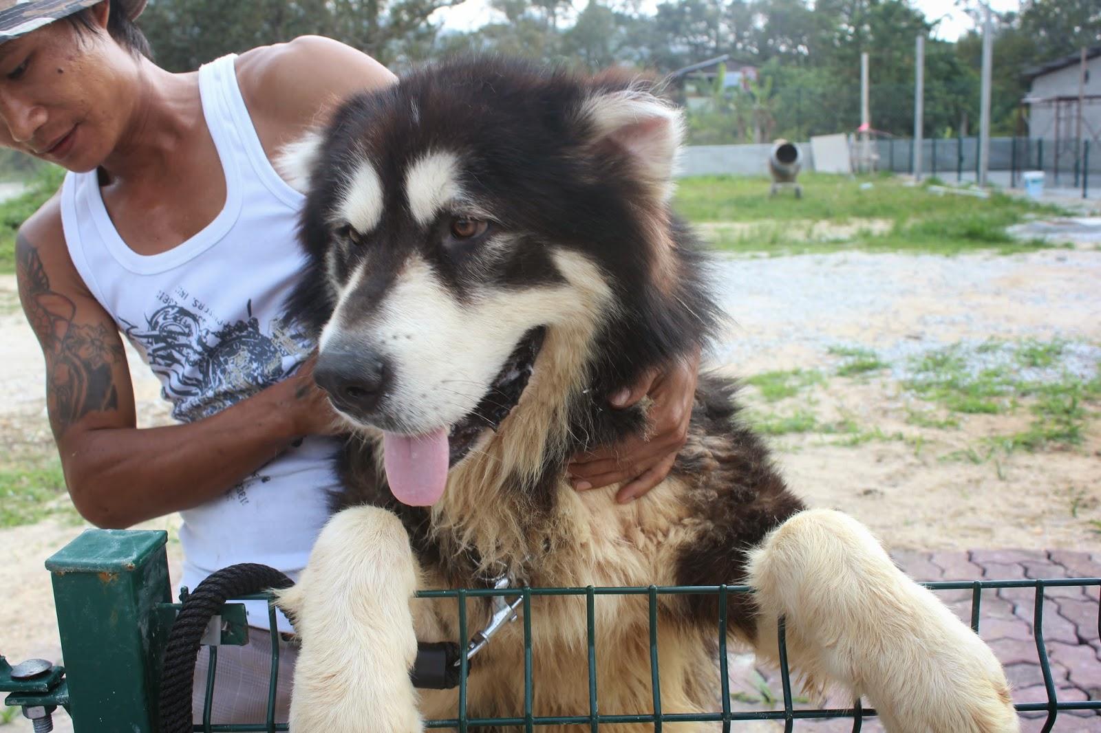 Lovelypuppy 20140213 Alaskan Malamute Adult Puppy