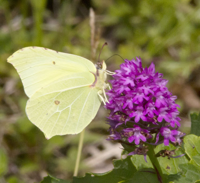 Brimstone butterfly, Gonepteryx rhamni, on Pyramidal Orchid, Anacamptis pyramidalis, in Burnt Gorse in High Elms Country Park, 15 July 2011.