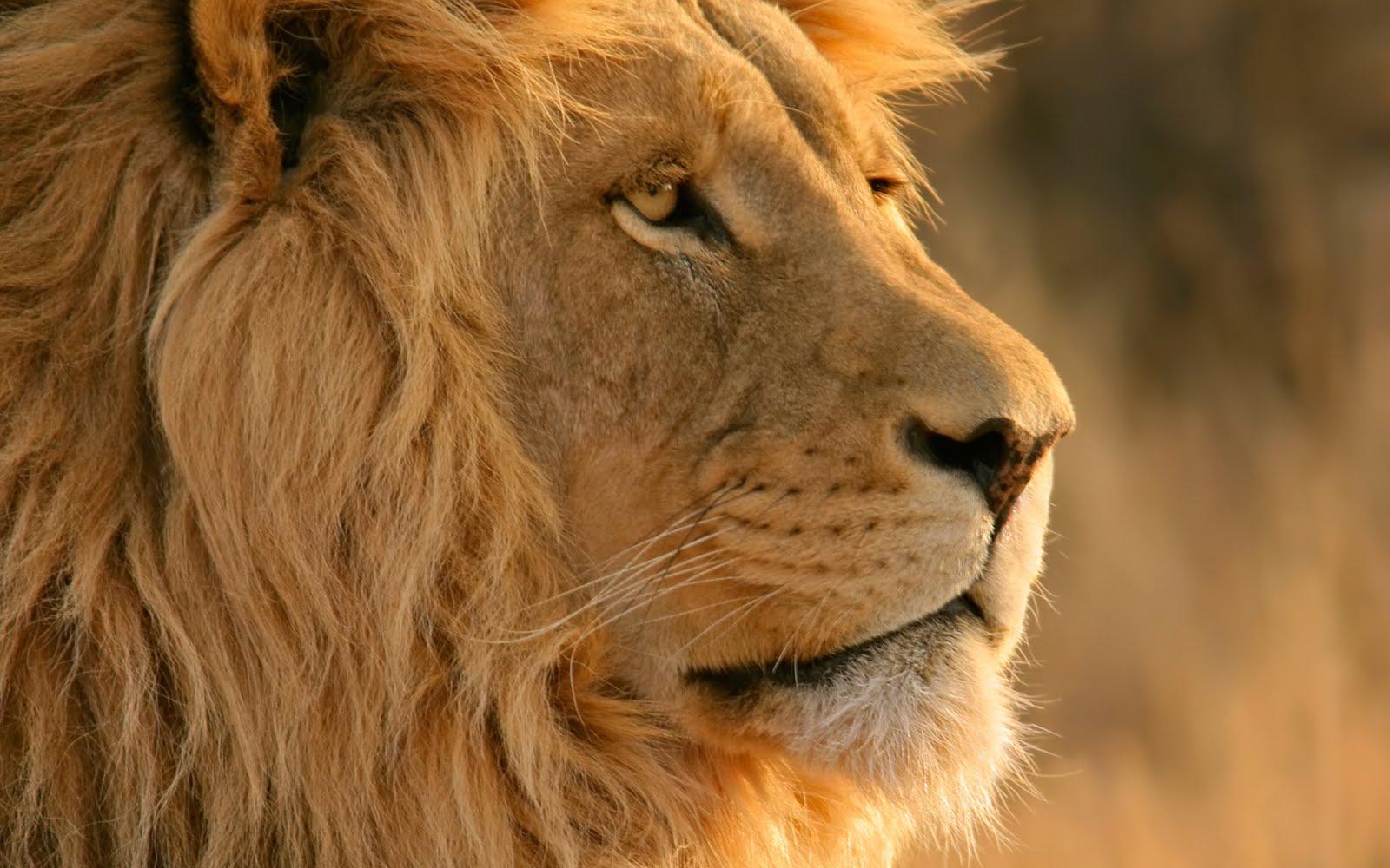 http://1.bp.blogspot.com/-6mmHshA2baE/TgaoTvR5rYI/AAAAAAAACZY/58CzAttdk-8/s1600/Lion.jpg