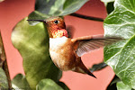 THE RUFOUS HUMMINGBIRDS ARE BACK.....