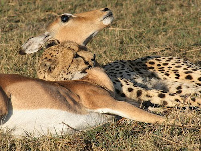 free downloading videos of cheetahs hunting wiki