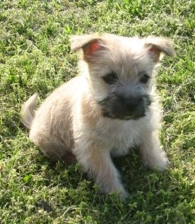 Cairn Terrier Puppies on Cairn Terrier Puppies Images   Puppies Dog Breed Information Image