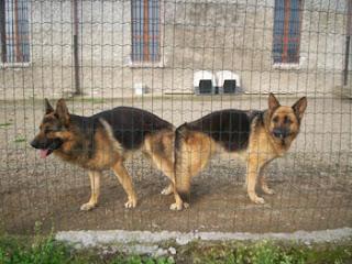 Alla ricerca del siberian husky cosa devi sapere prima di accoppiare il tuo cane - Husky occhi diversi ...