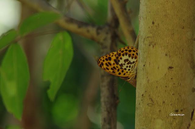 雞南山豹紋蝶