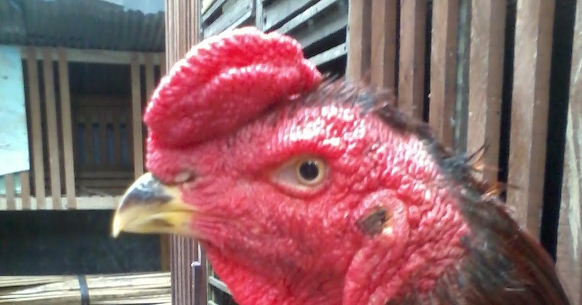 Ayam Bangkok: Katuranggan Ayam Aduan