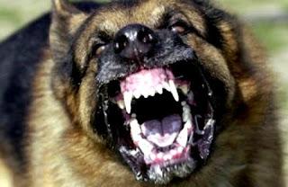 PENYAKIT RABIES DI PERLIS; KEDAH;PULAU PINANG anjing gila wabak