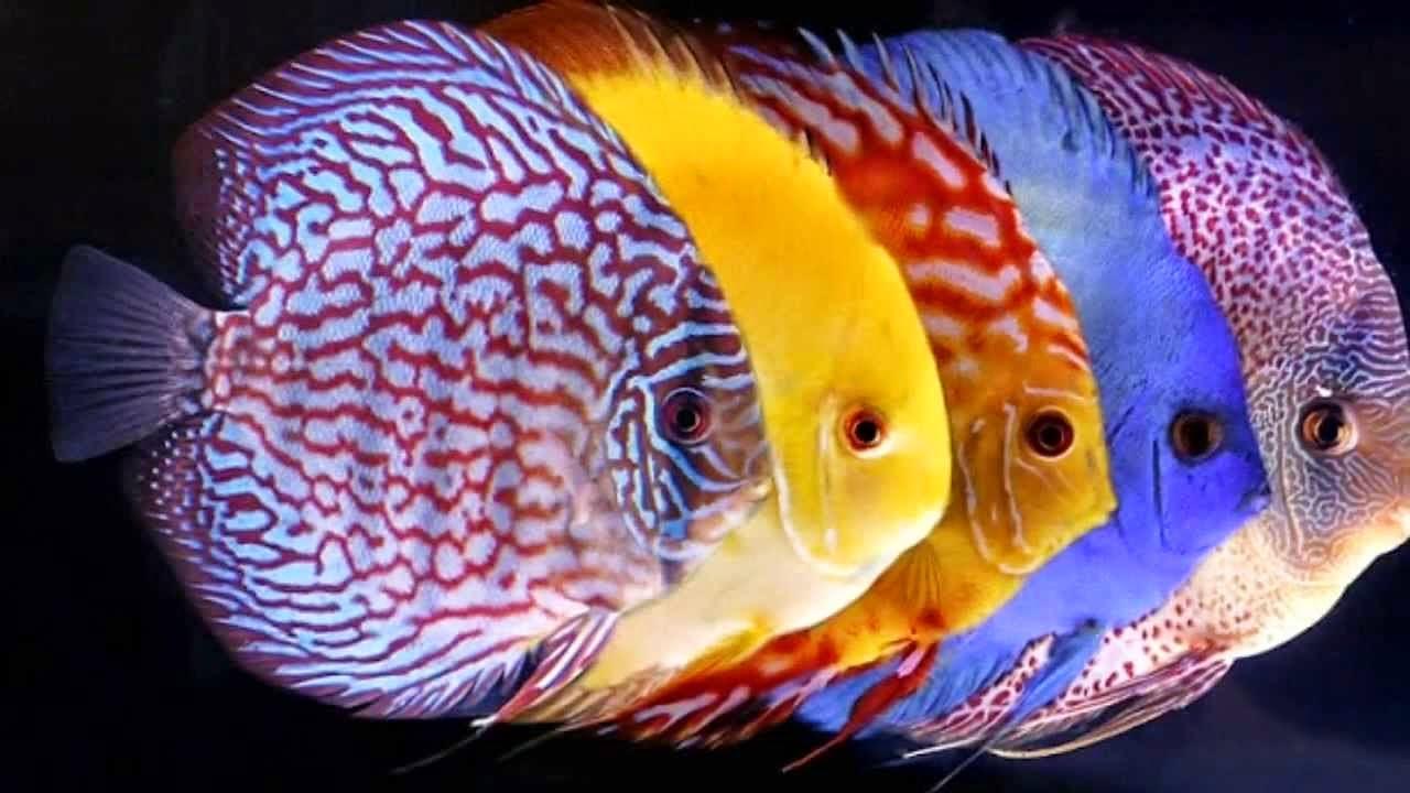 Hobby acquario come allevare i discus