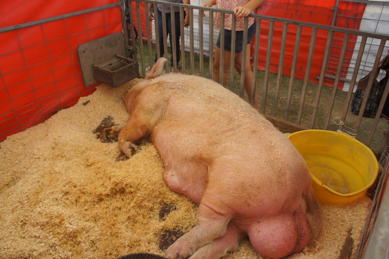 verdens ældste gris
