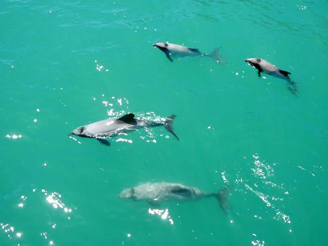 Hector delfinek