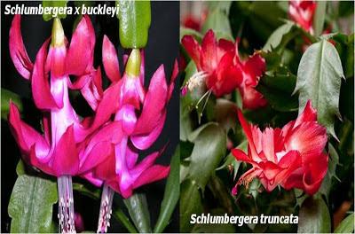 Plantas de interior - Diferentes filocládios