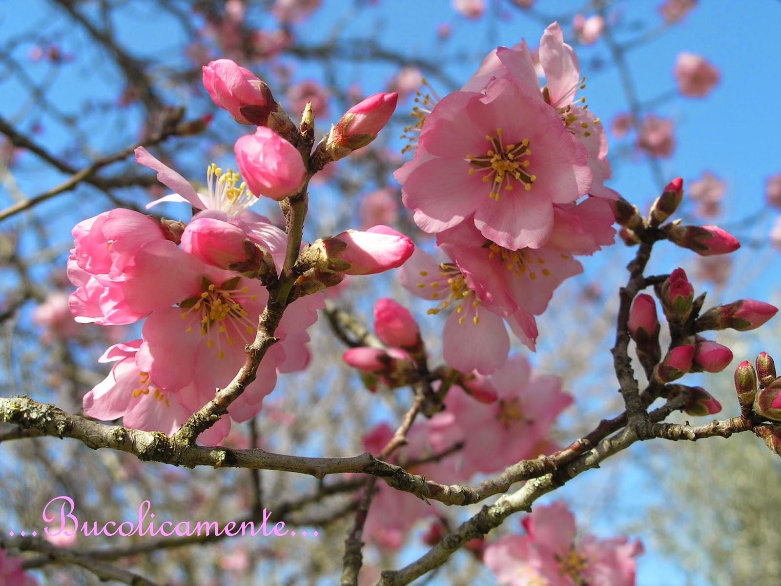 bucolicamente alberi da frutto il mandorlo