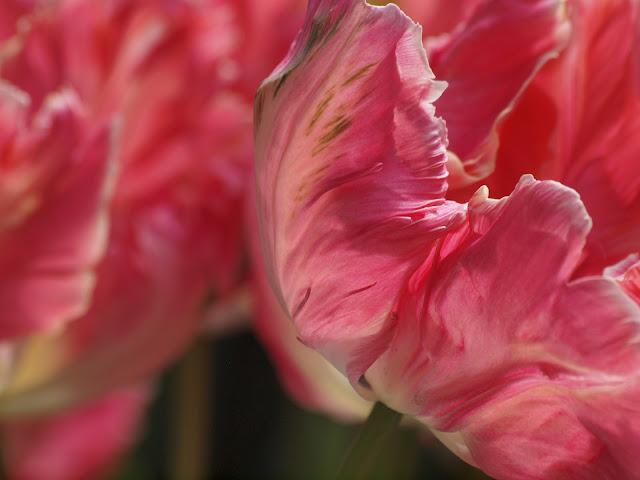 Parrot Tulip, Upper Westside Community Garden, NYC