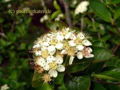 Aronia-Blüte