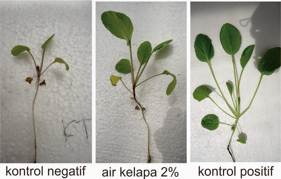 pengaruh air kelapa terhadap pertumbuhan tanaman sawi dalam media hidroponik