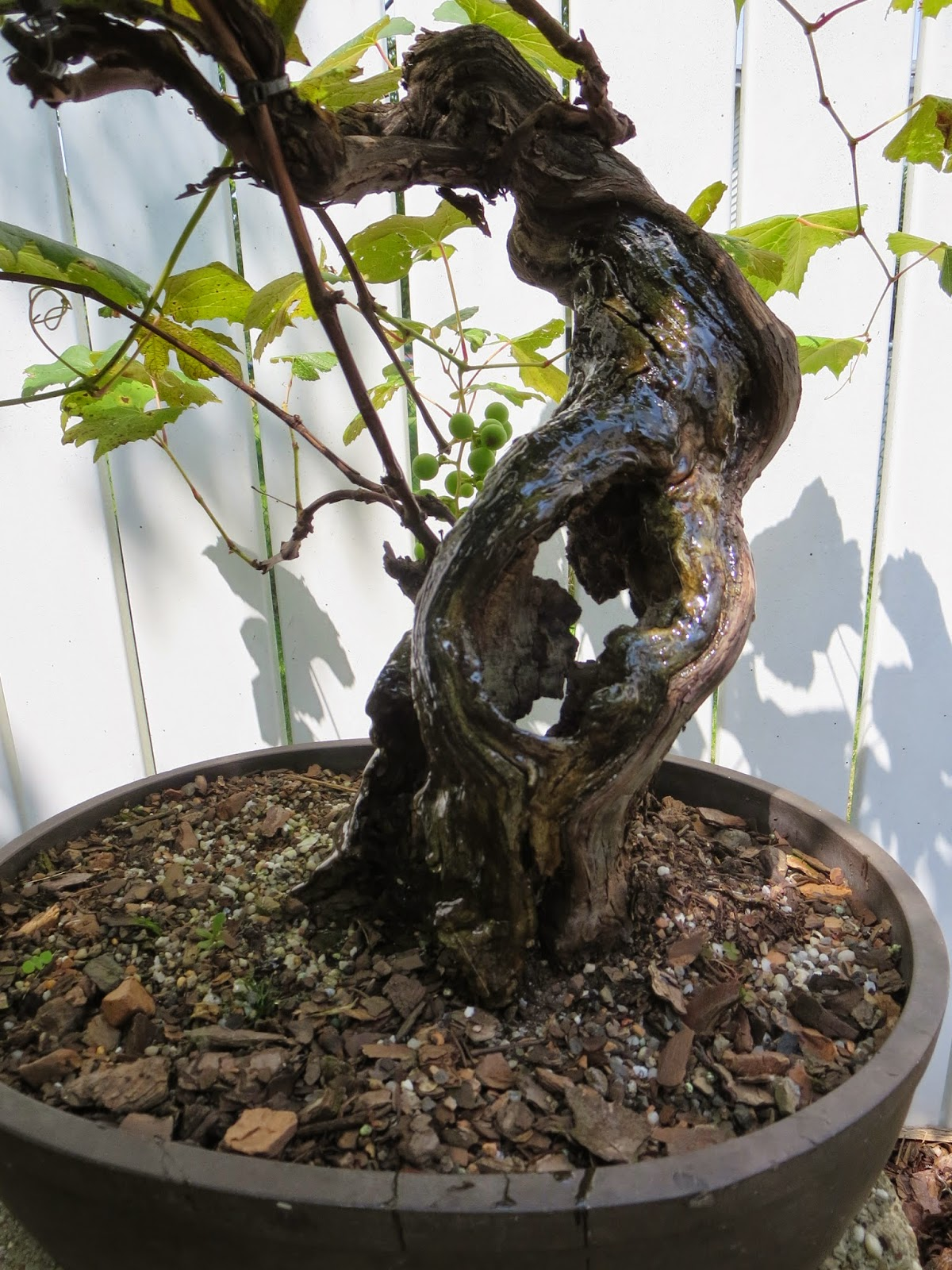Akron Canton Bonsai Society October 2014
