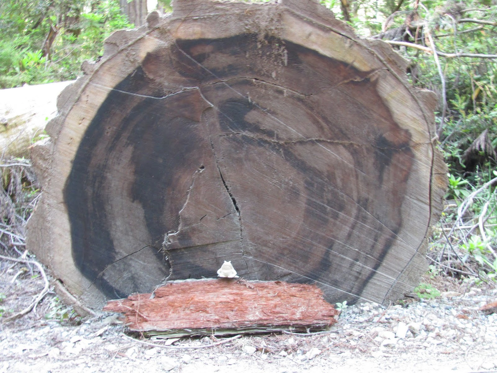 A fallen tree shows its rings with Frog at Jedediah Smith State Park, California
