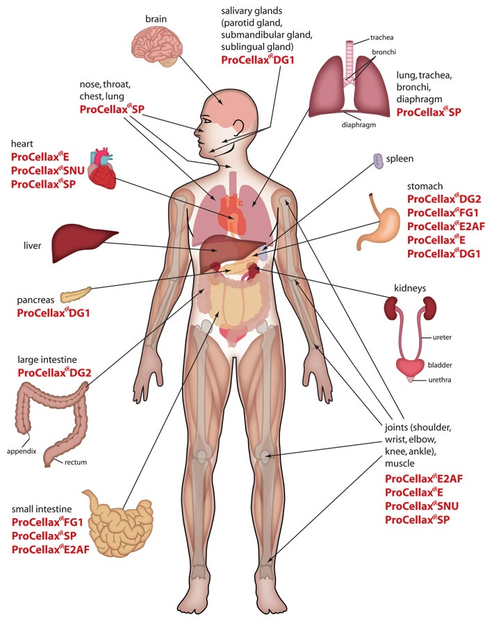Human body muscles pictures human heart diagram location diagrams of the human body inspiration and experiments ccuart Gallery