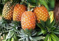 Manfaat dan Khasiat buah nanas