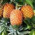 Manfaat dan Khasiat buah nanas bagi kesehatan