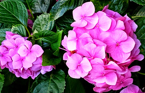 Hydrangeas Blooms can be pink to blue colours