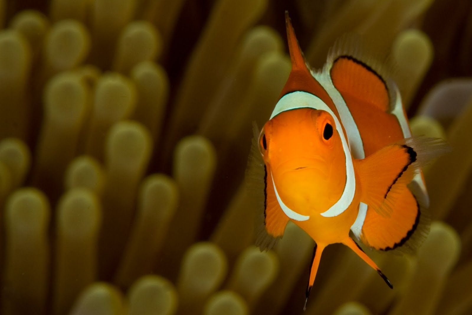 life of clownfish life of sea