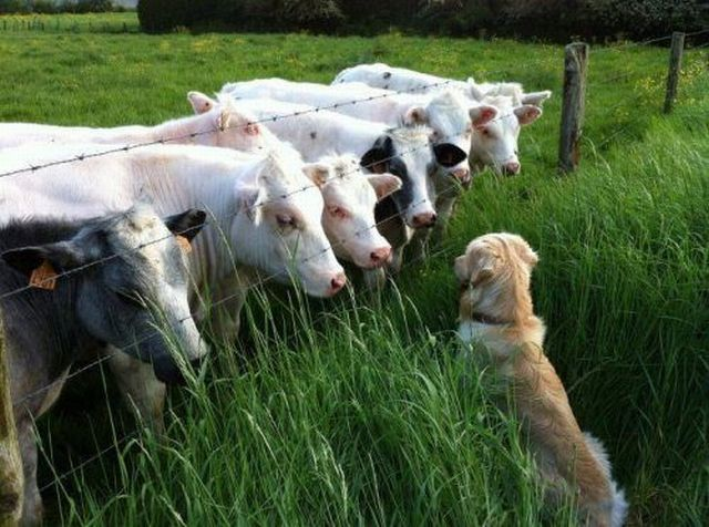 funny animal pictures, dog meets cows